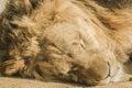 Sleeping male lion taken from al areen park bahrain Stock Image