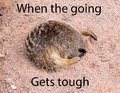 Sleeping meerkat with its head in a hole with text on the image Royalty Free Stock Photo