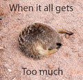 Sleeping meerkat with its head in a hole with text on the image Stock Photography