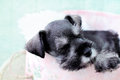 Sleeping mini schnauzer six week old salt and pepper falling asleep inside of a pink hat box Royalty Free Stock Image
