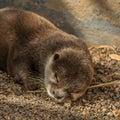Sleeping mink across the big stones to climbs a Royalty Free Stock Photos