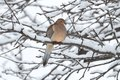 Sleeping Mourning Dove in Snow Royalty Free Stock Photos