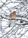 Sleeping mourning dove in snow zenaida macroura an apple tree covered with winter Stock Images