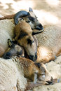 Sleeping muttons Royalty Free Stock Photo