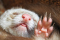 Sleeping pastel ferret Royalty Free Stock Photo