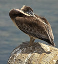Sleeping Pelican on the Rocks Royalty Free Stock Photo