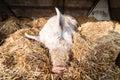 Sleeping pig on the farm Royalty Free Stock Photo