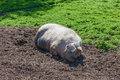 Sleeping pig in the mud Royalty Free Stock Photo