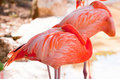 Sleeping pink flamingos Royalty Free Stock Photos