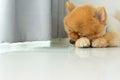 Sleeping pomeranian puppy dog