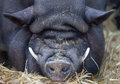 Sleeping pot bellied pig with lot of wrinkels and long tusks lying in the hay Royalty Free Stock Photography