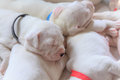 Sleeping puppies young dogo argentino cute animals Royalty Free Stock Photo