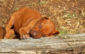 Sleeping puppy a beautiful liver nosed purebred rhodesian ridgeback dog on a trunk outdoors Stock Photo