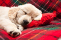 Sleeping puppy on plaid adorable week old golden retriever asleep a tartan blanket with his head a heart shaped pillow Royalty Free Stock Images