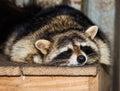 Sleeping raccoon close-up Royalty Free Stock Photo