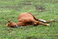 Sleeping red horse Stock Photo