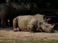 Sleeping rhino portrait Royalty Free Stock Photo