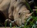 Sleeping rhino portrait Royalty Free Stock Photo