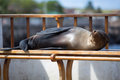 Sleeping sea lion on a bench galapagos islands in puerto baquerizo moreno isla san cristobal in the Stock Image