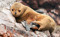 Sleeping sea lion cub on a rocky shore Royalty Free Stock Photo