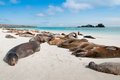Sleeping sea lions galapagos espanola island with many on a beach Stock Photos