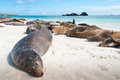 Sleeping sea lions galapagos espanola island with many on a beach Royalty Free Stock Photos