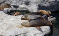 Sleeping sealions a group of on the rocks Stock Image