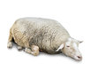 Sleeping sheep on white Stock Photos