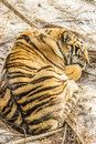 Sleeping Siberian Tiger in Harbin China Stock Photo
