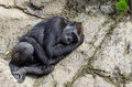 Sleeping silverback gorilla a on stone viewed from above Stock Photography