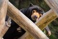 Sleeping Sun Bear Royalty Free Stock Photo