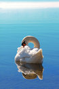 Sleeping swan in blue water with reflection Royalty Free Stock Photos