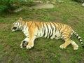 Sleeping tiger Royalty Free Stock Photo