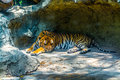 Sleeping Tiger. Royalty Free Stock Photo
