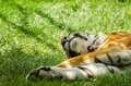 Sleeping tiger close up photo Stock Photography