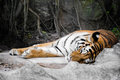 Sleeping tiger on the rock with tree root background Royalty Free Stock Photography