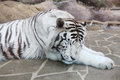 Sleeping white tiger Stock Images