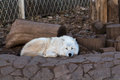 Sleeping White Wolf In The Zoo