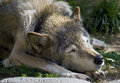 Sleeping wolf 1 Royalty Free Stock Image