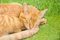 Sleeping yellow cat