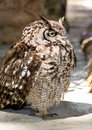 Sleepy Africa Spotted Eagle Owl Royalty Free Stock Photo