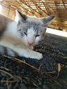 Sleepy Barn Cat laying in the arena Royalty Free Stock Photo