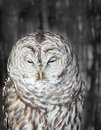 Sleepy barrel owl hadly able to keep its eyes open Stock Photos