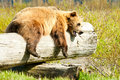 Sleepy Brown Bear Royalty Free Stock Images
