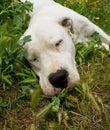 Sleepy Dog, dogo argentino. Royalty Free Stock Photo