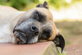 Sleepy dog boerboel a south african breed Stock Photography