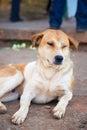 Sleepy dog brown sleeping Stock Photos