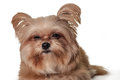 Sleepy dog face cute mixed breed making isolated in white background with clipping path Royalty Free Stock Images