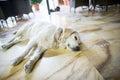 Sleepy dog Royalty Free Stock Photo