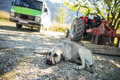 Sleepy dog on the ground in rural areas of turkey Royalty Free Stock Photo